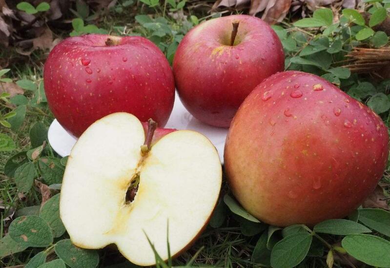 红富士苹果果实偏斜的原因与预防